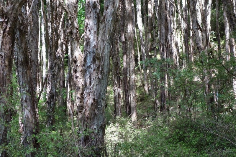 Forest mix of young kanuka, wilding pines and numerous totara and matai.